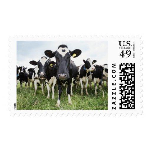 Vacas que se colocan en una fila que mira la sello postal