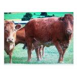 vacas tarjeta postal