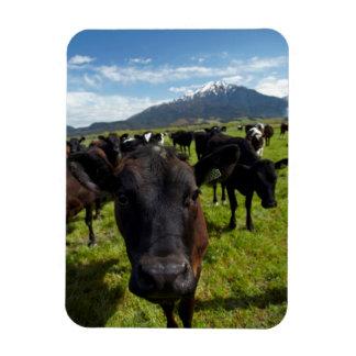 Vacas y Mt Somers Imanes