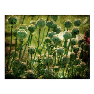 Vainas de la semilla de flor de la amapola tarjetas postales