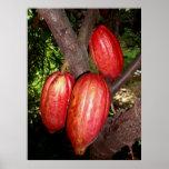 Vainas hawaianas del cacao posters