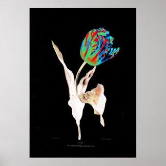 Valentine Bartholomew - Tulip  (Enhanced) Poster