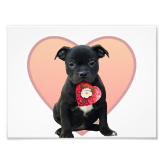 Valentine's Staffordshire bull terrier puppy Photograph