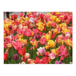 Valley of Tulips Postcard