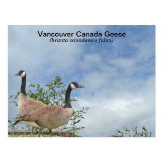 Vancouver Canada Geese Postcard