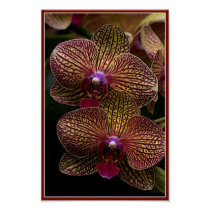 Vanda Orchids Poster