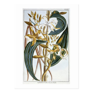 Vanilla pods, plate 65, from 'Collection Precieuse Postcard