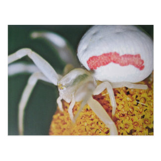 Variable crab spider postcard
