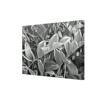 Variagated Solomon s Seal Plants - Black And White Gallery Wrapped Canvas