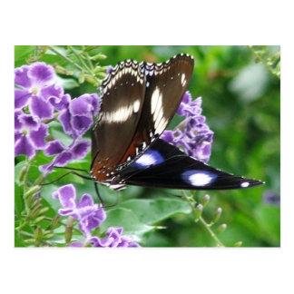 Varied Eggfly Male Butterfly Postcard