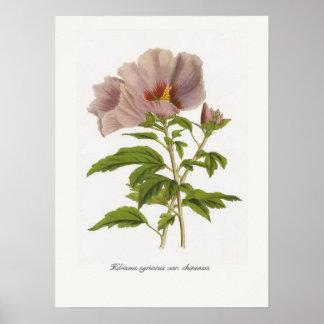 Variedades del syriacus del hibisco chinensis poster