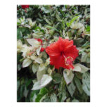 Variegated Hibiscus Poster