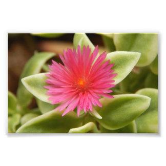 Variegated Succulent Flower Photo Print