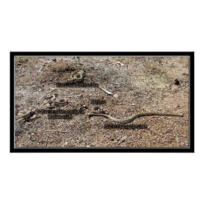 Variety Of Congress, Arizona Rattlesnakes Poster by congress_arizona. black-tail, diamondback, mojave.