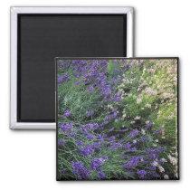 Variety of Lavender Magnet