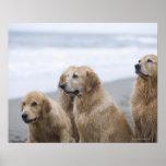 Varios perros perdigueros de oro que se sientan en póster