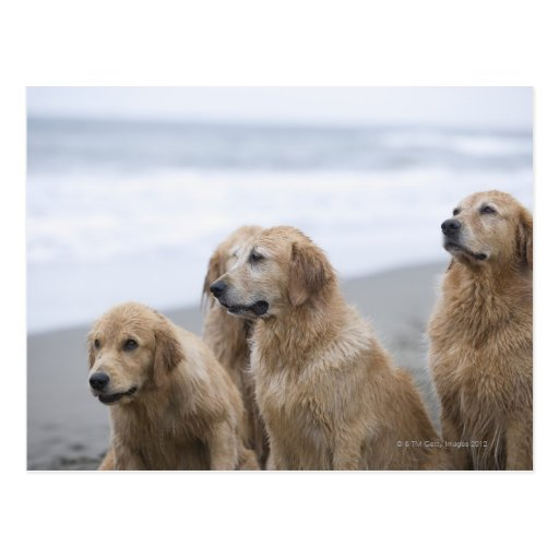 Varios perros perdigueros de oro que se sientan en tarjetas postales