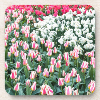 Various red tulips and white daffodils beverage coaster