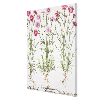 Various varieties of Dianthus, from the 'Hortus Ey Canvas Print