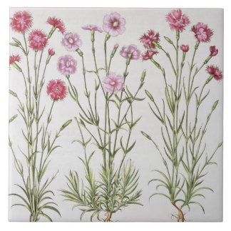Various varieties of Dianthus, from the 'Hortus Ey Tile