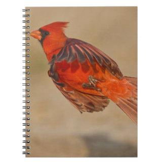 Varón adulto cardinal septentrional en vuelo libro de apuntes con espiral