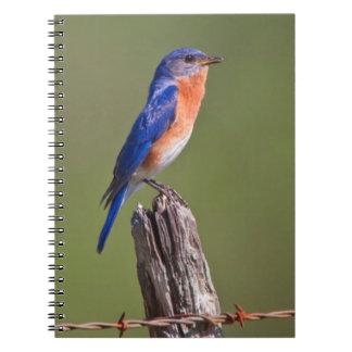 Varón adulto del este 2 del Bluebird (Sialis del Libretas