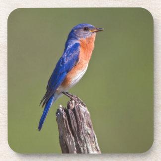 Varón adulto del este 2 del Bluebird (Sialis del Posavasos De Bebida
