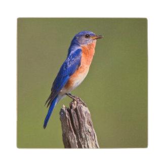 Varón adulto del este 2 del Bluebird (Sialis del Posavasos De Madera