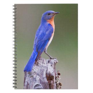 Varón adulto del este del Bluebird (Sialis del Libretas Espirales