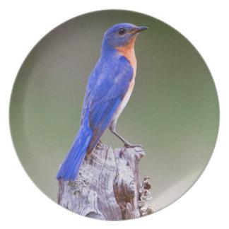 Varón adulto del este del Bluebird (Sialis del Plato Para Fiesta