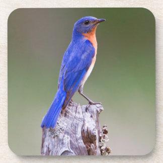 Varón adulto del este del Bluebird (Sialis del Posavasos De Bebida