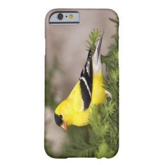 Varón americano del Goldfinch en un árbol Funda De iPhone 6 Barely There