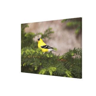 Varón americano del Goldfinch en un árbol Impresiones De Lienzo