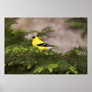 Varón americano del Goldfinch en un árbol Posters