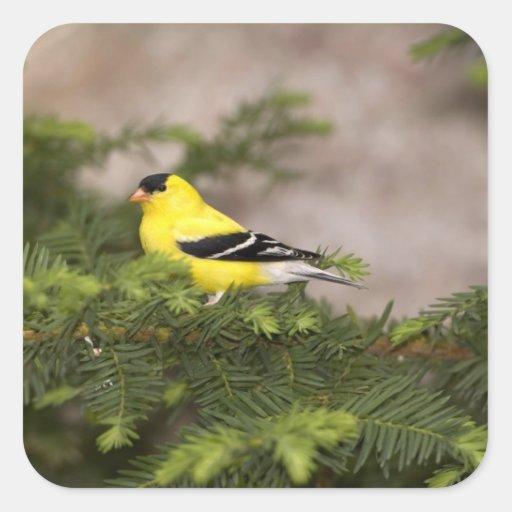 Varón americano del Goldfinch en un árbol Calcomanías Cuadradases