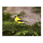 Varón americano del Goldfinch en un árbol Postal