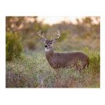 varón blanco-atado 2 de los ciervos (virginianus d postal