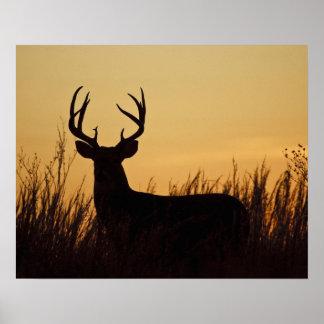 varón blanco-atado de los ciervos (virginianus del póster