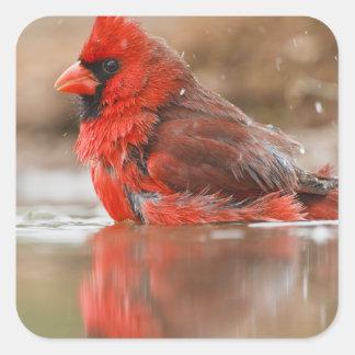 (Varón cardinal septentrional de los cardinalis de Pegatinas Cuadradas