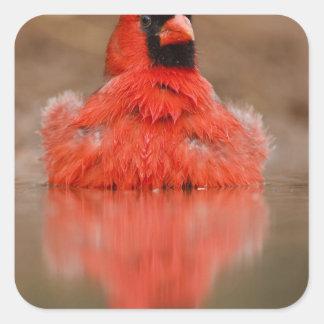 Varón cardinal septentrional de los cardinalis de  calcomanías cuadradas personalizadas