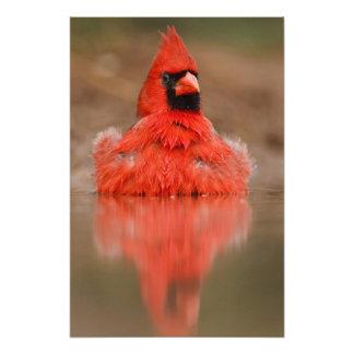 Varón cardinal septentrional de los cardinalis de impresiones fotográficas