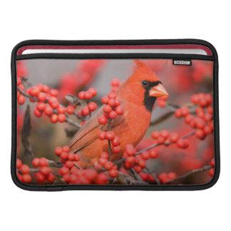 Varón cardinal septentrional en Winterberry común Funda Para Macbook Air