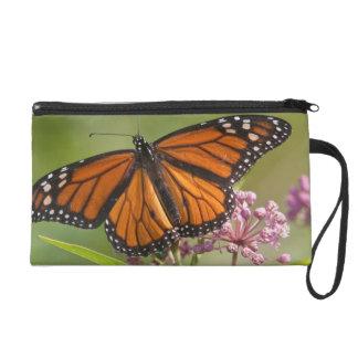 Varón de la mariposa de monarca en Milkweed de