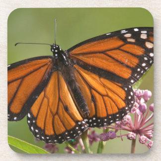 Varón de la mariposa de monarca en Milkweed de Posavasos De Bebidas