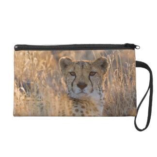Varón de reclinación del guepardo