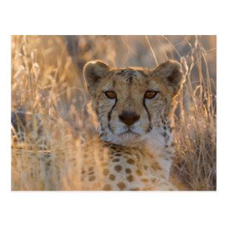 Varón de reclinación del guepardo postal