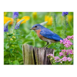Varón del Bluebird en el poste de la cerca en Postales