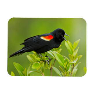 Varón del mirlo de alas rojas (Agelaius Imanes Rectangulares