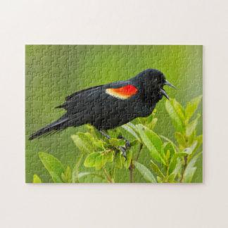 Varón del mirlo de alas rojas (Agelaius Rompecabeza