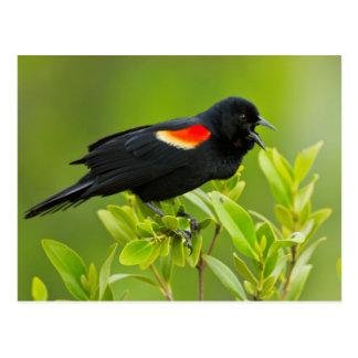 Varón del mirlo de alas rojas (Agelaius Tarjetas Postales